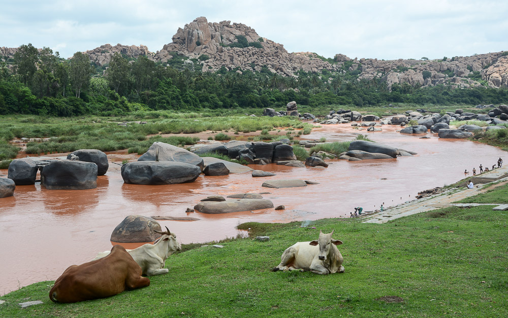 Indien Hampi Tungabhadra Kühe