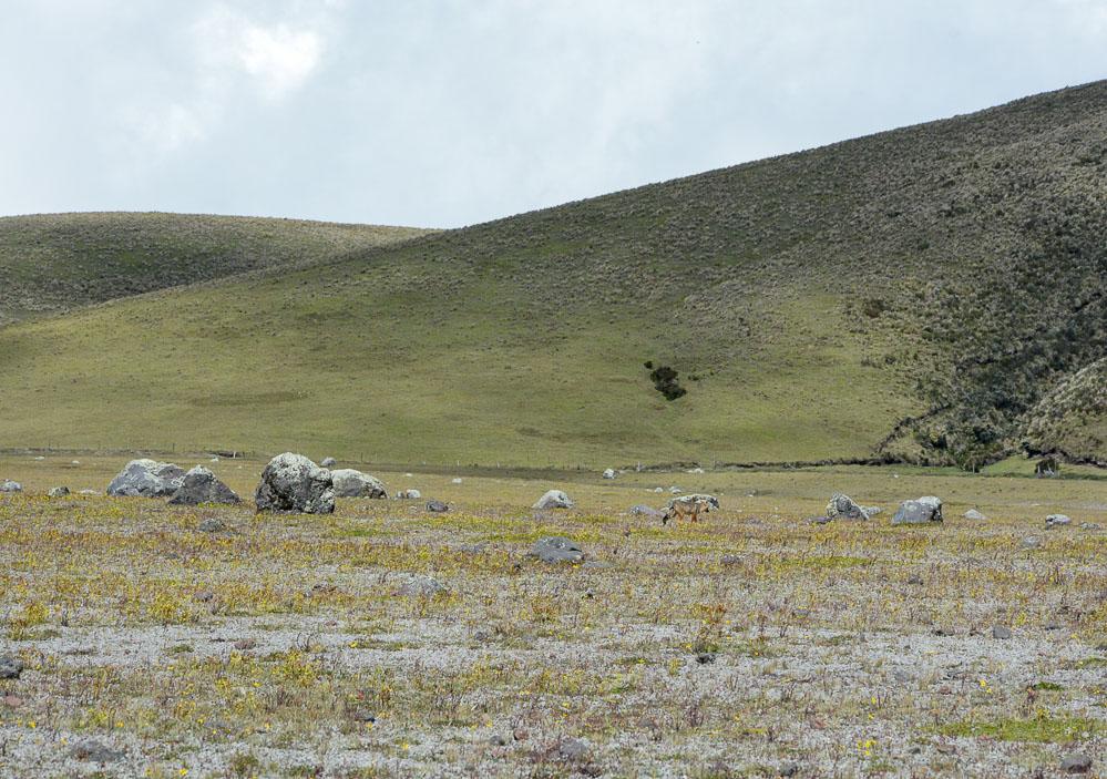 Traveling the World Ecuador Anden Cotopaxi Nationalpark Andenfuchs